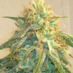 Super Silver Haze Cannabis Strain 1