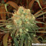 Buy blue dream weed online