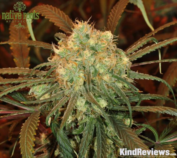 blue-dream-live-native-roots-apothecary-5