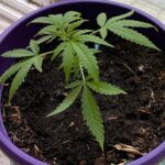 Buy Bruce Banner weed | Bruce banner weed for sales