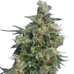 bubba_kush-seeds-fem_large-300×300